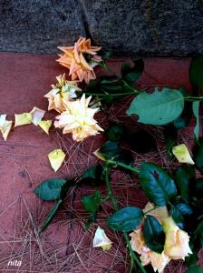 rose morte s
