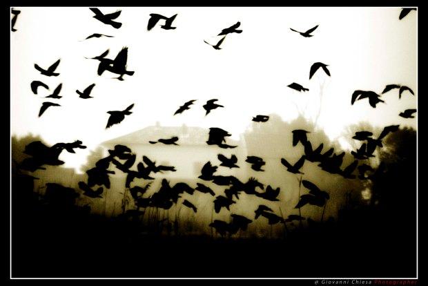animali-corvi-1055