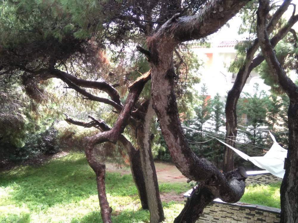 pino spezzato